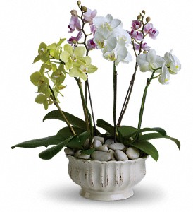 Regal Orchids-angiesflowers.jpg